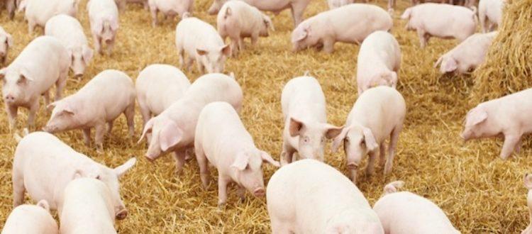 malattia da perdita di peso dei maialini